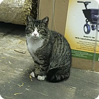 Adopt A Pet :: Baby - Barn Cat - Lombard, IL