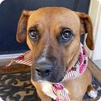 Adopt A Pet :: Bit O Honey - Baton Rouge, LA