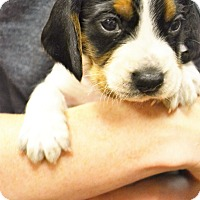 Adopt A Pet :: Sebastian - Lake Odessa, MI
