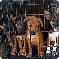 Adopt A Pet :: Shepherd mix pups - Flemington, NJ