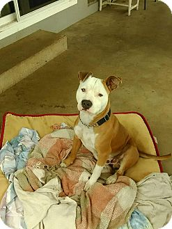 American Pit Bull Terrier/American Staffordshire Terrier Mix Dog for adoption in Tracy, California - Hooch