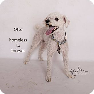 Poodle (Miniature) Mix Dog for adoption in Sherman Oaks, California - Otto