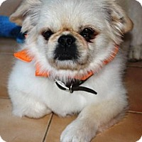 Pekingese Dog for adoption in Solebury, Pennsylvania - Pookie
