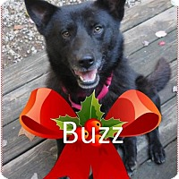 Adopt A Pet :: Buzz - Rootstown, OH
