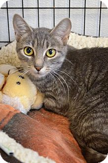 Domestic Shorthair Cat for adoption in Newberg, Oregon - Princess