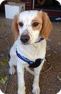 Brittany/Springer Spaniel Mix Dog for adoption in Walton, Kentucky - CO/Maysie (ADOPTION PENDING)