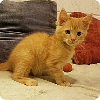 Domestic Shorthair Kitten for adoption in Jeannette, Pennsylvania - Butters/Biscuit