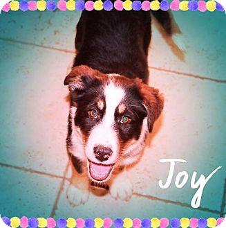 Australian Shepherd/Australian Cattle Dog Mix Dog for adoption in Chandler, Arizona - MANDY - Adorbs!
