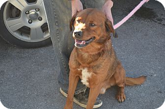 Rottweiler/Labrador Retriever Mix Dog for adoption in New Manchester, West Virginia - Nugent