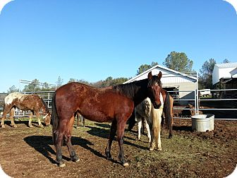 Quarterhorse/Other/Unknown Mix for adoption in Newcastle, California - Sienna