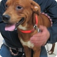 Adopt A Pet :: Copper (ADOPTED) - Chicago, IL