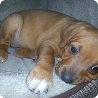 Adopt A Pet :: Baby Carmella - Marlton, NJ