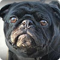 Adopt A Pet :: Yoda - Sinking Spring, PA
