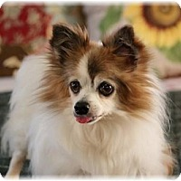 Adopt A Pet :: Ringo - Dallas, TX