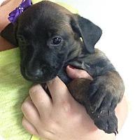 Adopt A Pet :: Mia Bella - San Diego, CA