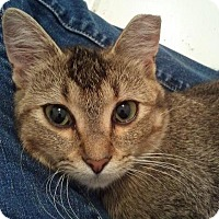 Abyssinian Cat for adoption in Duluth, Georgia - Abbie