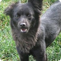 Adopt A Pet :: Cuddles - Sunnyvale, CA