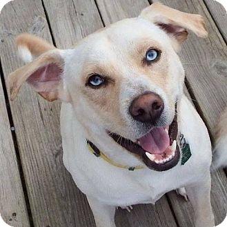 Husky/Chow Chow Mix Dog for adoption in Alexandria, Virginia - Winston