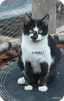 Domestic Shorthair Cat for adoption in Corinne, Utah - Cobalt