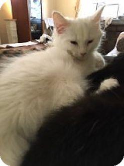 Domestic Mediumhair Kitten for adoption in Delmont, Pennsylvania - Blanca