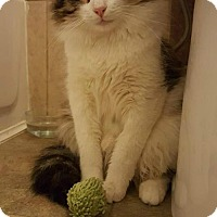 Domestic Longhair Cat for adoption in Troy, Illinois - Senator Fostered (Erika)