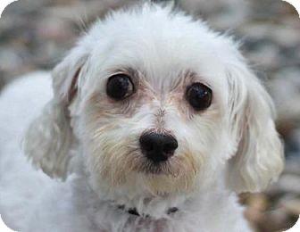 Maltese Dog for adoption in Colorado Springs, Colorado - Vinny