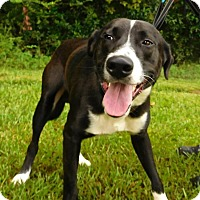 Border Collie/Labrador Retriever Mix Dog for adoption in St. Francisville, Louisiana - Max