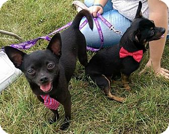 Chihuahua Mix Dog for adoption in Jerseyville, Illinois - Cheech and Chong