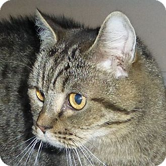 British Shorthair Cat for adoption in Port Angeles, Washington - Little