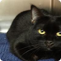 Domestic Shorthair Cat for adoption in Tucson, Arizona - BABY