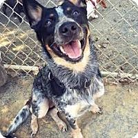 Adopt A Pet :: Indiana Bones - Richmond, VA