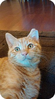 Domestic Shorthair Kitten for adoption in Cincinnati, Ohio - Willie