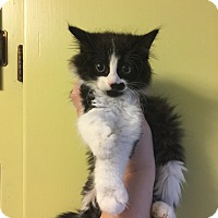 Domestic Mediumhair Kitten for adoption in oklahoma city, Oklahoma - Courtney