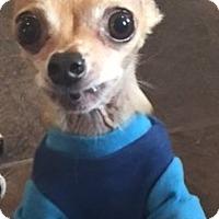 Adopt A Pet :: Poochie - Tenafly, NJ