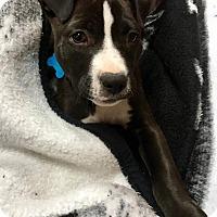 Adopt A Pet :: Henley - Bristol, CT