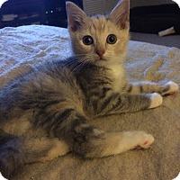 Adopt A Pet :: Pixie - Plainville, CT