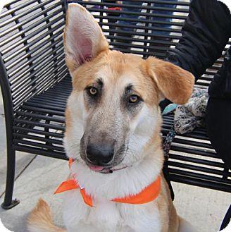 German Shepherd Dog Mix Dog for adoption in Littleton, Colorado - Katie