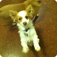 Adopt A Pet :: Lisette - Boerne, TX