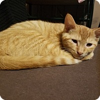 Adopt A Pet :: Pikachu (bonded w Rita Lynn) - Warren, MI