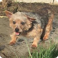 Adopt A Pet :: Gizmo - Vacaville, CA