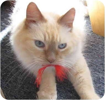 Ragdoll Cat for adoption in Keizer, Oregon - Tawney