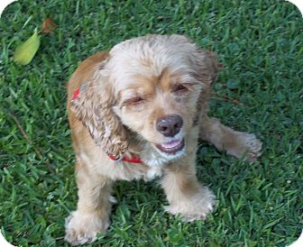 Cocker Spaniel Dog for adoption in Glastonbury, Connecticut - HONEY BUN/Special Pricing
