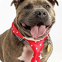 American Pit Bull Terrier/American Pit Bull Terrier Mix Dog for adoption in Staatsburg, New York - Teddy