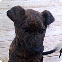 Labrador Retriever/Terrier (Unknown Type, Medium) Mix Dog for adoption in Tyler, Texas - A-Pups #2