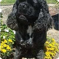 Adopt A Pet :: Gigi - Sugarland, TX