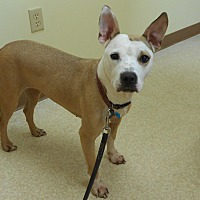 Labrador Retriever/Pit Bull Terrier Mix Dog for adoption in Oberlin, Ohio - Lucy