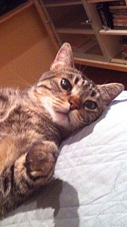 Domestic Mediumhair Cat for adoption in Monrovia, California - Lolita