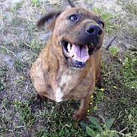 Adopt A Pet :: Brinda (Brynnie) - Smithfield, NC