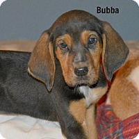 Adopt A Pet :: Bubba~meet me~ - Glastonbury, CT