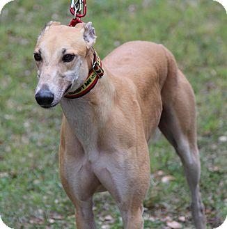 Greyhound Adoption In West Palm Beach